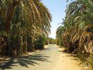 8355 - Palmbos te Bawiti - Bahariya