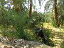 5693 - Koe naast Hibis tempel - Kharga