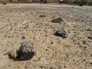 4950 - Versteend hout - el-Kurru