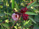 5731 - Hibiscusplant bij Nubian House - Arqu